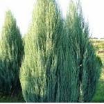 Можжевельник скальный «Скайрокет» / Juniperus scopulorum «Skyrocket»