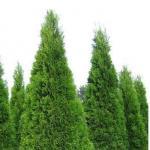 Туя западная «Смарагд» / Thuja occidentalis «Smaragd»