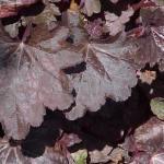 Гейхера гибридная «Чоколат вейл» / Heuchera x hybrida «Chocolate Veil»