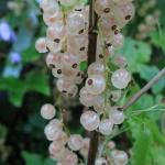 Смородина белая/Ribes niveum