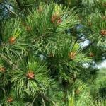Сосна сибирская кедровая / Pinus sibirica