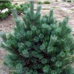 Сосна обыкновенная «Ватерери» / Pinus sylvestris «Watereri»