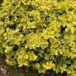 Бересклет форчуна «Эмеральд Голд» / Euonymus fortunei «Emerald'n Gold»