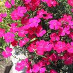 Гвоздика травянка «Бриллиант» / Dianthus deltoides «Brilliant»