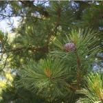 Сосна европейская кедровая / Pinus cembra