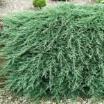 Можжевельник горизонтальный «Глациер» / Juniperus horizontalis «Glacier»