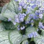 Бруннера крупнолистная «Джек Фрост» / Brunnera macrophylla «Jack Frost»