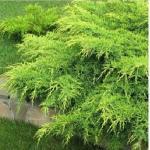 Можжевельник средний «Пфитцериана Ауреа» / Juniperus x pfitzeriana «Pfitzeriana Aurea»