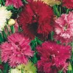 Гвоздика перистая «Рой бабочек» / Dianthus plumarius
