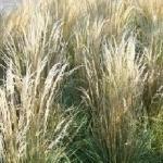 Вейник остроцветковый «Овердам» / Calamagrostis acutiflora «Overdam»
