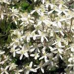 Клематис манчжурский видовой / Clematis mianschurica