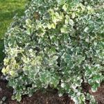 Бересклет форчуна «Эмеральд Гаети» / Euonymus fortunei «Emerald Gaiety»