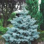 Ель колючая «Костер» / Picea pungens «Koster»