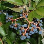 Виноград девичий пятилисточковый (Parthenocissus quinquefolia)