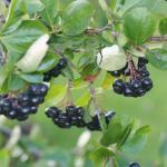 Арония черноплодная (Aronia melanocarpa) или черноплодная рябина
