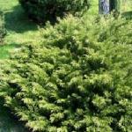 Можжевельник казацкий «Мас» / Juniperus sabina «Mas»