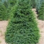Ель сербская «Нана» / Picea Omorica «Nana»
