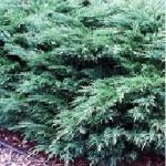 Можжевельник казацкий «Глаука» / Juniperus sabina «Glauca»