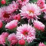 Астра новоанглийская «Роза Сигер» / Aster novae-angliae «Rosa Sieger»