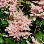 Астильба японская «Пич Блоссом» / Astilbe japonica «Peach Blossom»
