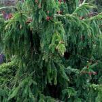 Ель обыкновенная «Акрокона» / Picea abies «Acrocona»