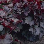 Гейхера мелкоцветная «Пёрпл палас» / Heuchera micrantha «Purple Palace»
